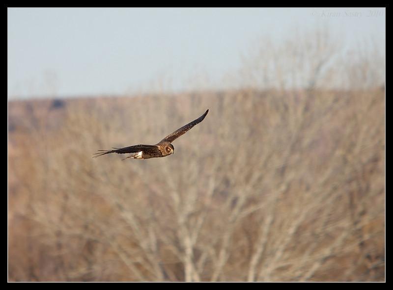 Northern Harrier, Bosque Del Apache, Socorro, New Mexico, November 2010