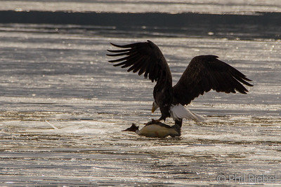 Bald Eagle with Common Merganser