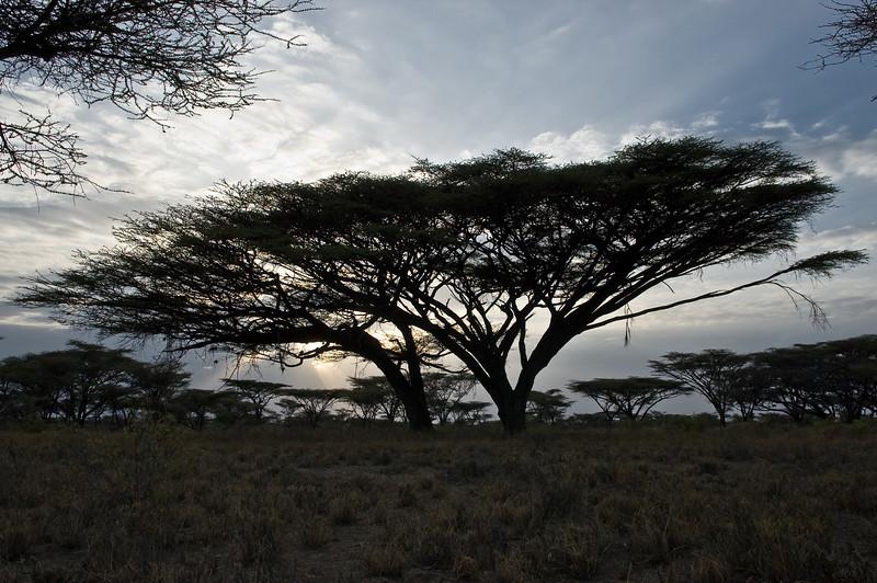 Shaba Acacia DSC_0402.jpg