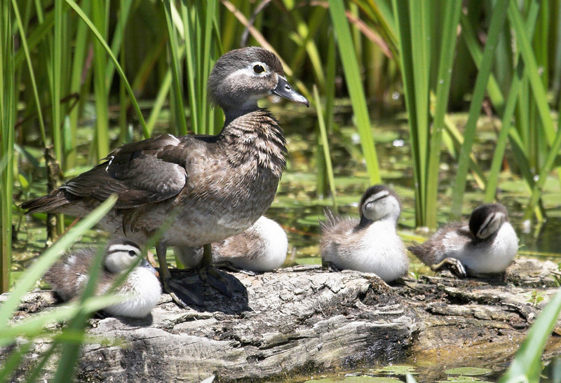 wood duck and chicks-13x19.jpg