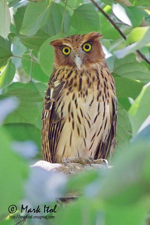 Philippine Eagle-Owl in Angono (1 Mar 2012)