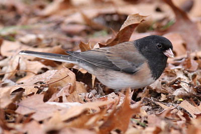 Junco, Dark-Eyed [Oregon]