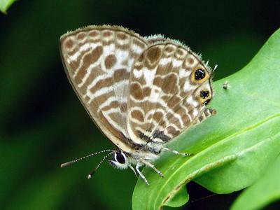 subfamily Polyommatinae