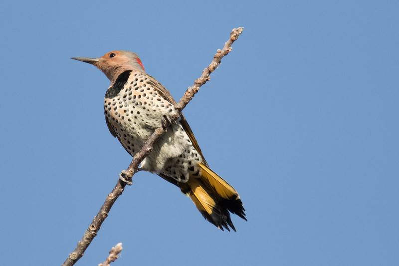 Yellow-shafted Flicker Fall 2019-1.jpg