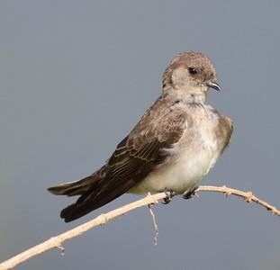A 33 Swallows,Martins-Schwalben