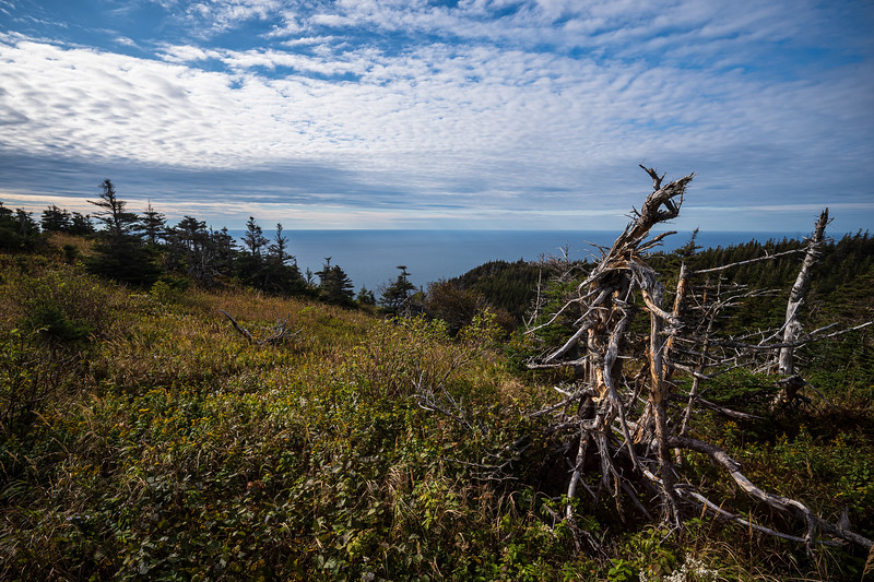 gnarly tree Cape Breton Highlands National Park.jpg
