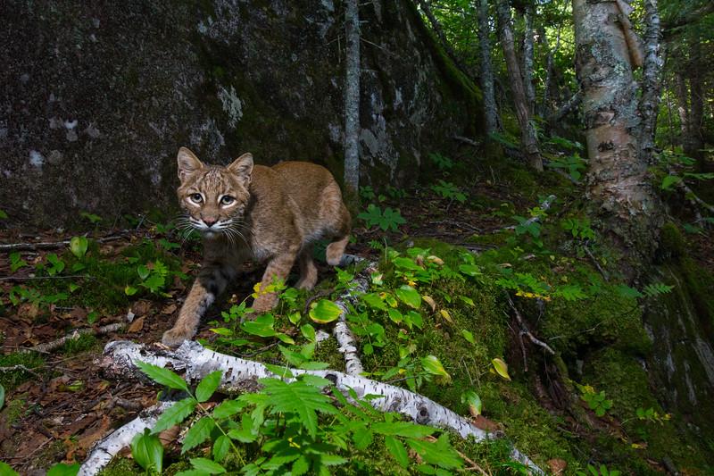 bobcat-4721.jpg