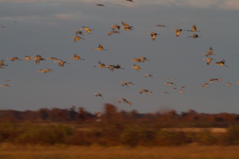 Sandhill Cranes flight flying fly in roost Crex Meadows Grantsburg WI IMG_1814.jpg