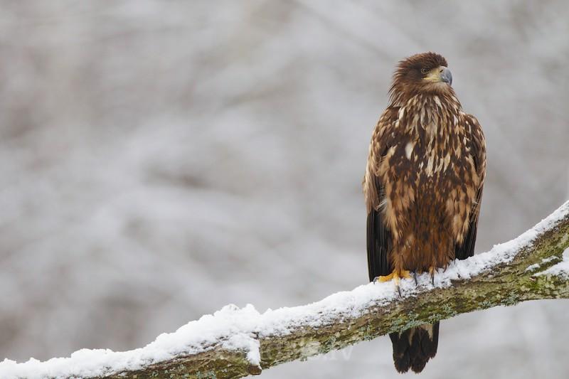 White-tiled eagle, juvenile / Jūras ērglis, jaunais putns