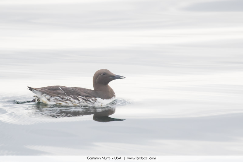 Common Murre - USA