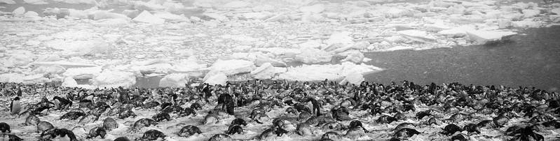 Devils island Adele penguins