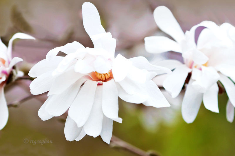 Mar 21_Star Magnolia Blossoms_5458.jpg