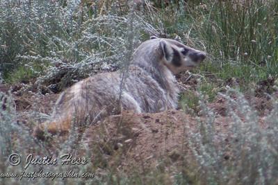 Badger 8-30-2013
