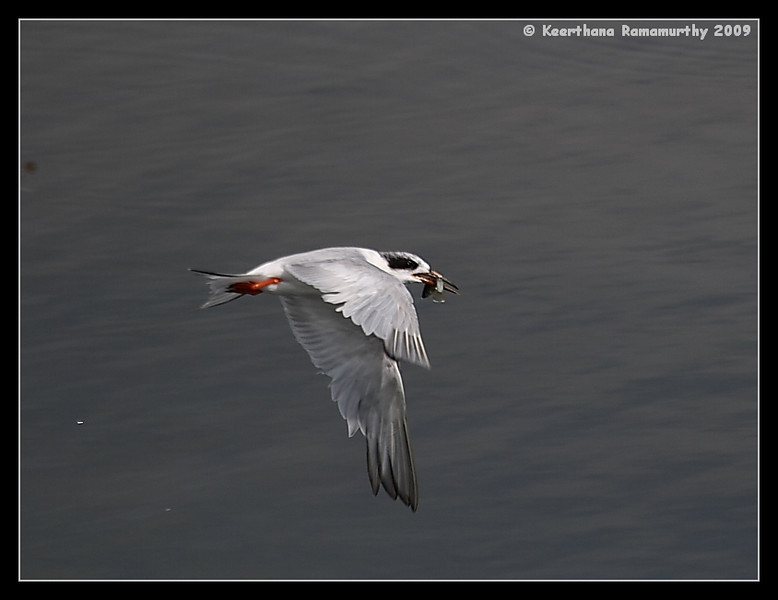 Forster's Tern with catch, Robb Field, San Diego County, California, August 2009