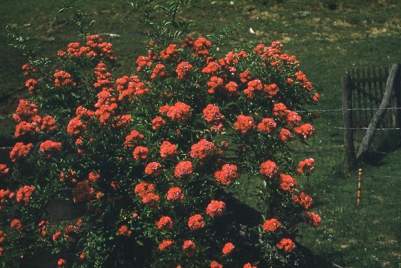 1952 June - Roses