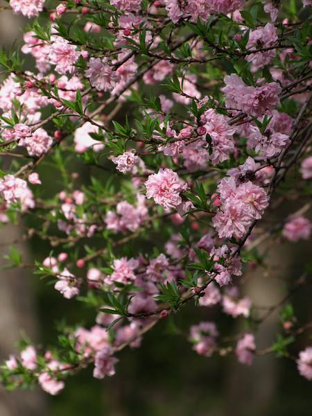 Highland Park Azaleas and others- March 28, 2008