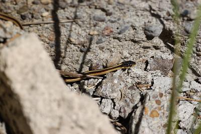 Common (Valley) Garter Snake