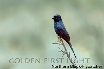 Northern Black-Flycatcher, Kenya