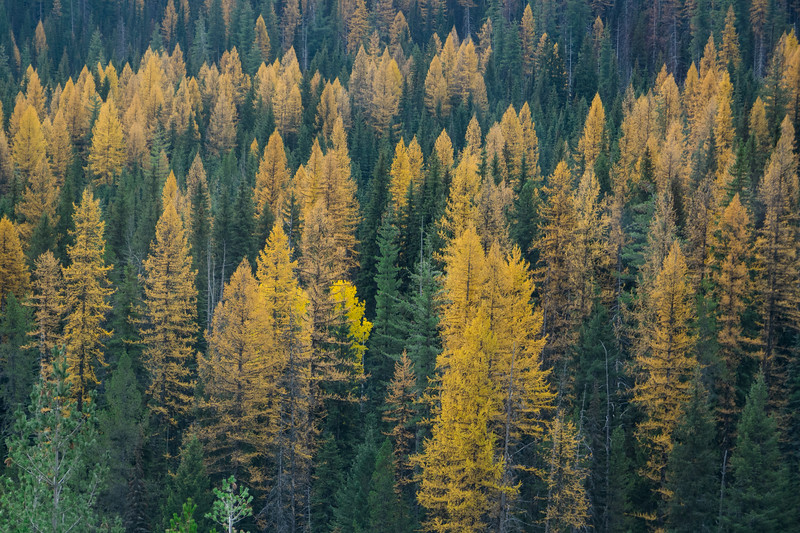 Larch Trees - Fall in Montana