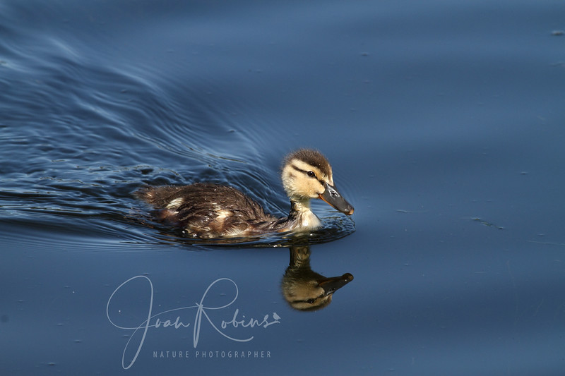 Mallard duckling, Ellis Creek, Petaluma, California