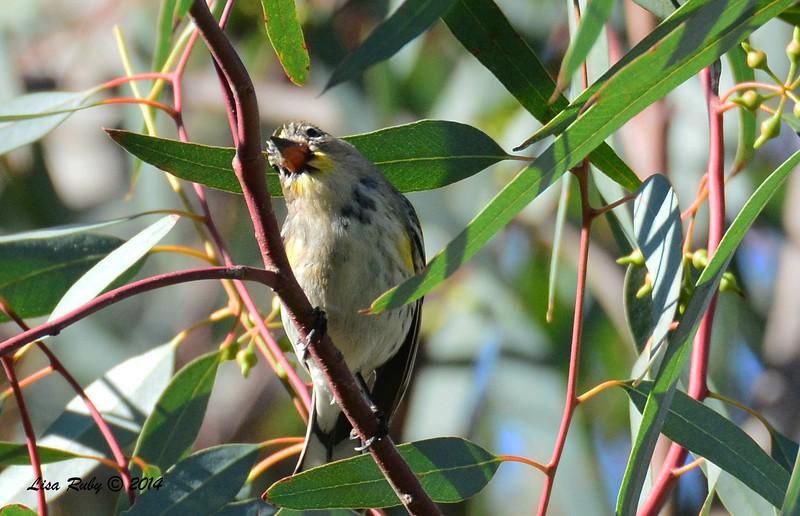 Odd Yellow-rumped Warbler -  12/24/2014 - Highland Valley Coast to Crest Trail