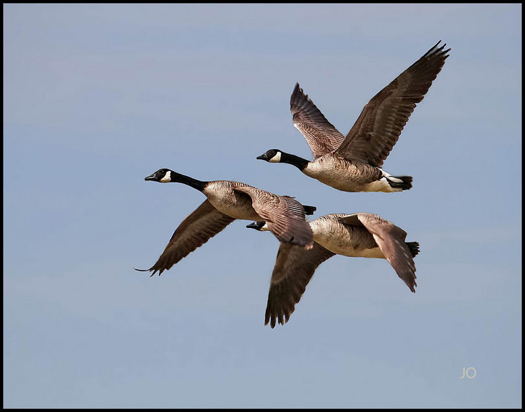 Geese inflight.. Soon the migration will start..