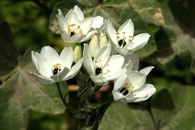 Flowers of Malta