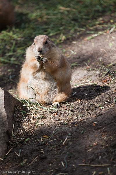 Prairie Dog, Calgary Zoo