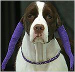 Nigritude dog with ultramarine ears and collar