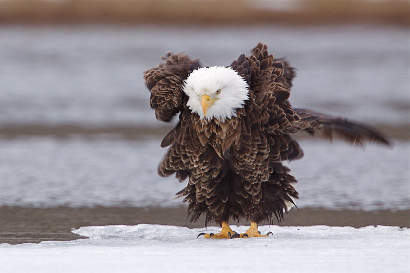 Bald Eagle ruffles his plumage while perched on the Methow River ice floes.