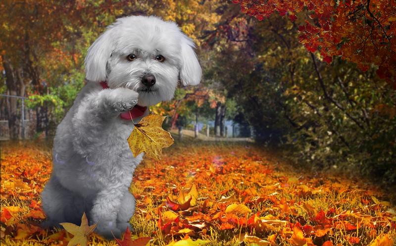 caniche-automne.jpg