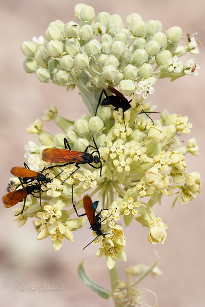 Tarantula Hawk Wasps on the way to Dante's View July 2018.  Got stung by one on this trip.  Only the female can sting.