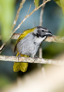 Blackheaded Saltator