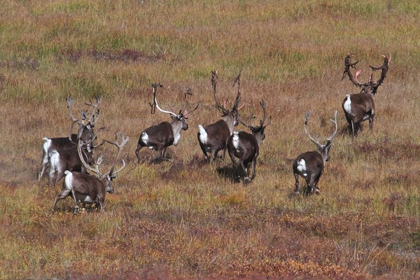 Wildlife:  The Caribou Migration in Gates of the Arctic Natiional Park