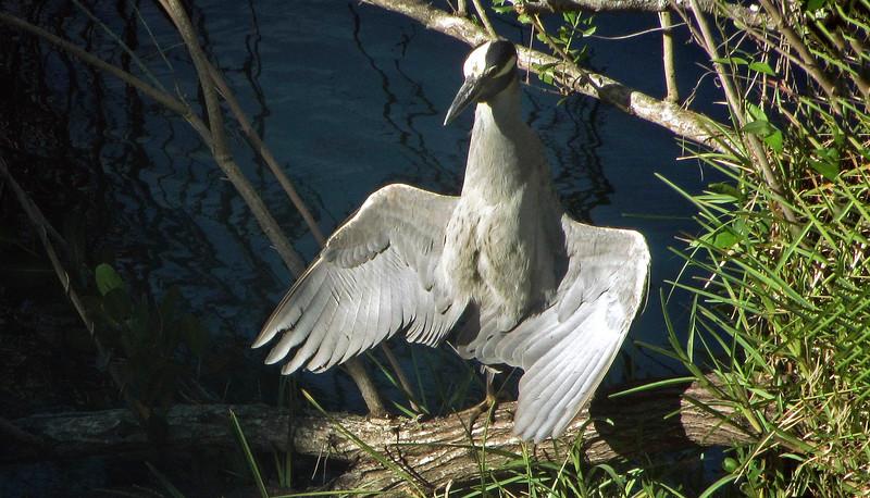 2_20_19 Yellow Crowned Night Heron.jpg