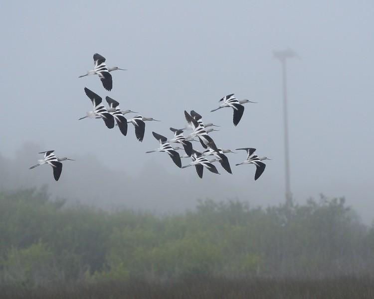 American Avocets, airborne Wood Stork Black Point Wildlife Drive Merritt Island NWR, Florida December 2012