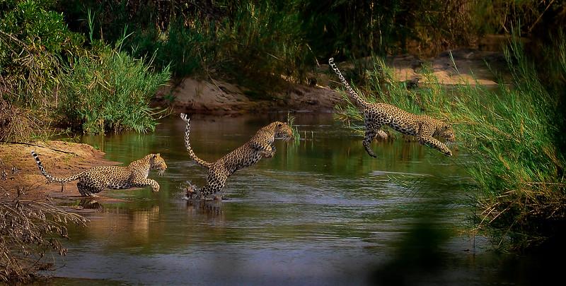 Leopard Crossing River BW BEKKER.jpg