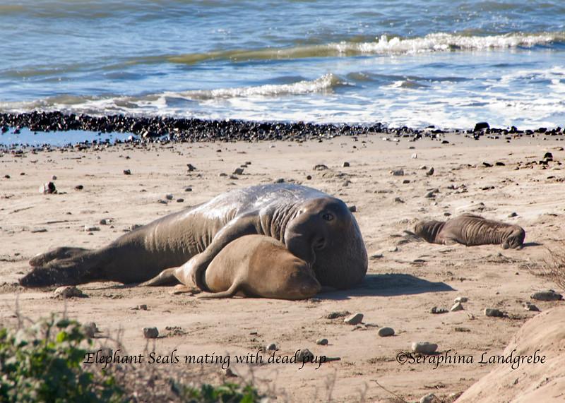 _DSC2095elephant seals dead pup.jpg