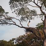 Jabiru bird watching his nest in Pantanal, Brazil