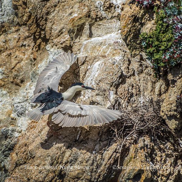_DSC9992Landing on nest.jpg