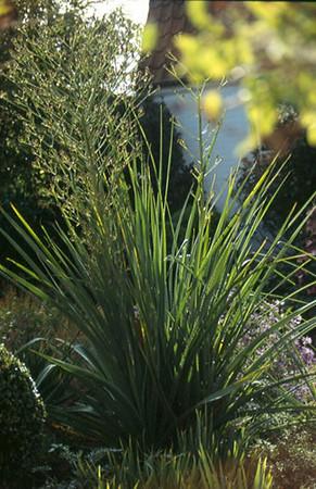 Eryngium pandanifolium .jpg