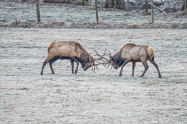 02 Elk at Boxley (Jan 24)