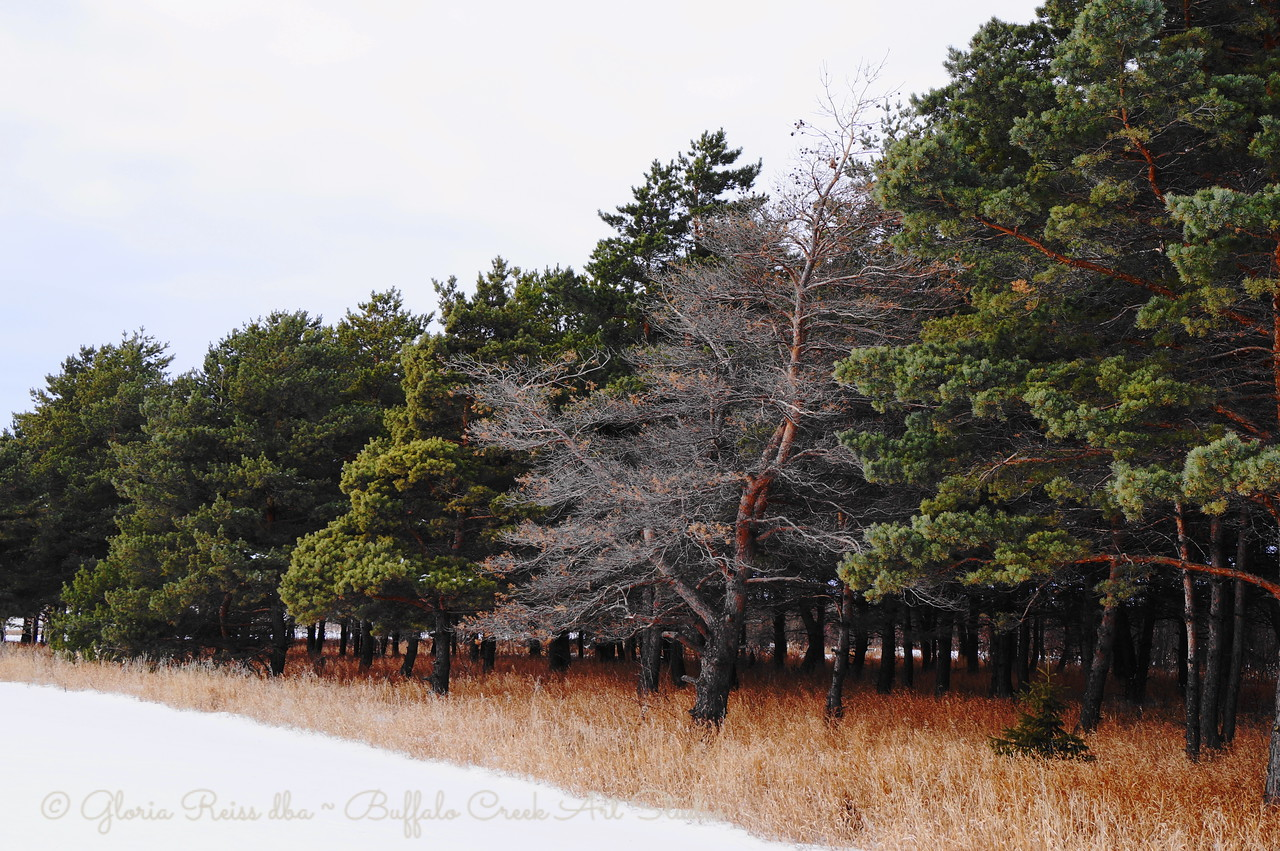 pine trees at the park