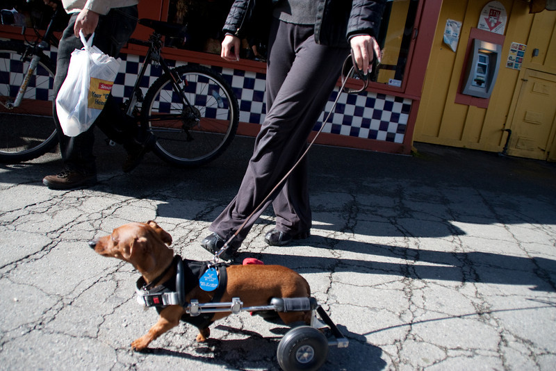 Monterey is a dog-friendly town. Everywhere I looked, dogs. I snapped this in a hurry and it's not clear; this little dachshund had a cart to support what appear to be useless or paralyzed hind legs. He trotted briskly and cheerily along the Wharf.