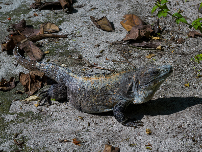 Close-up of an iguana, Half Moon Caye, Lighthouse Reef Atoll, Belize