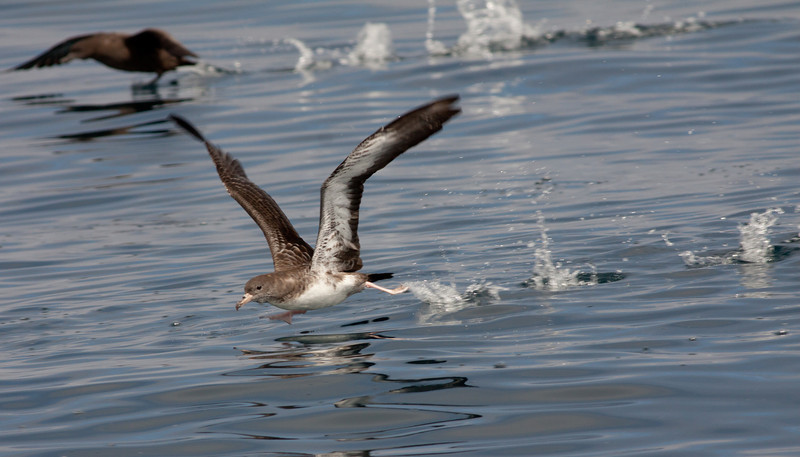 Pink-footed  Shearwater Sooty Shearwater  San Diego Waters 2010 07 31-1-2-2.CR2