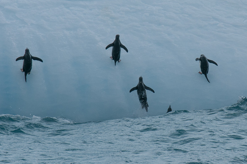 Chinstrap penguins climbing out of the water near Elephant Island