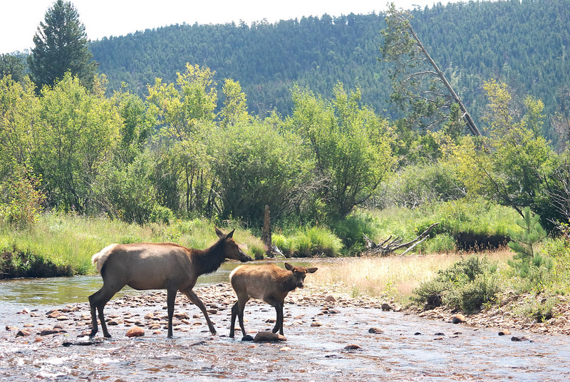 Elk cow and calf.jpg