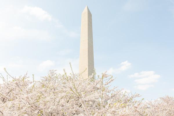 Cherry Blossoms (4/6)