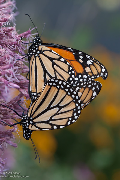Monarch (Danaus plexippus) mating